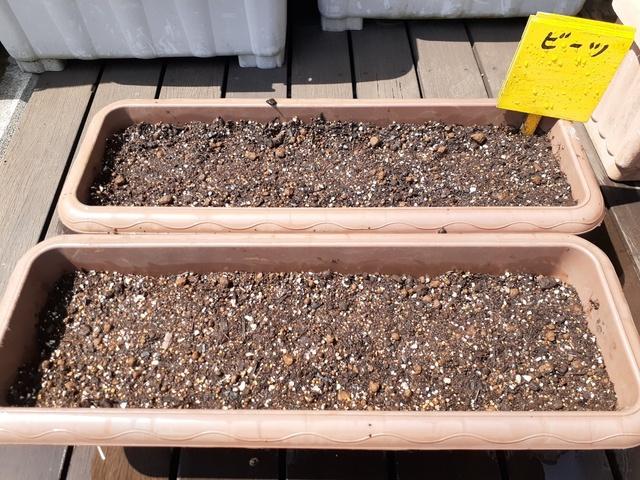 ビーツの種を植えました
